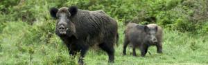foto-sortiment-kategoria-wildschwein